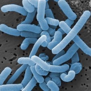 Lactobacillus_paracasei staand
