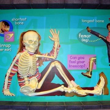 skeletal system staand