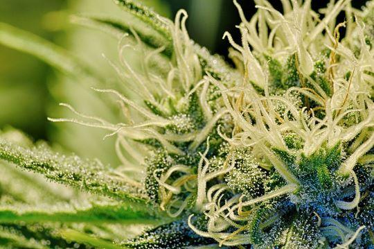 Cannabisonderzoek focust op risico's en misbruik 3