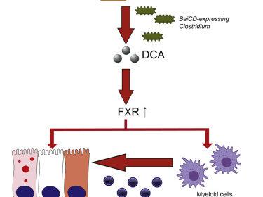 Bacteriële link tussen junkfood, immuuncellen en darmontsteking 7