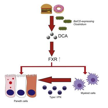 Bacteriële link tussen junkfood, immuuncellen en darmontsteking 3