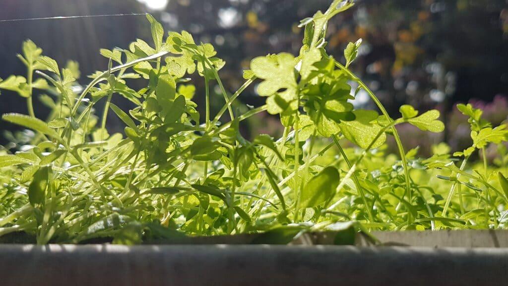 Microgroenten, oases in de voedselwoestijn 3