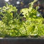 Microgroenten, oases in de voedselwoestijn 9