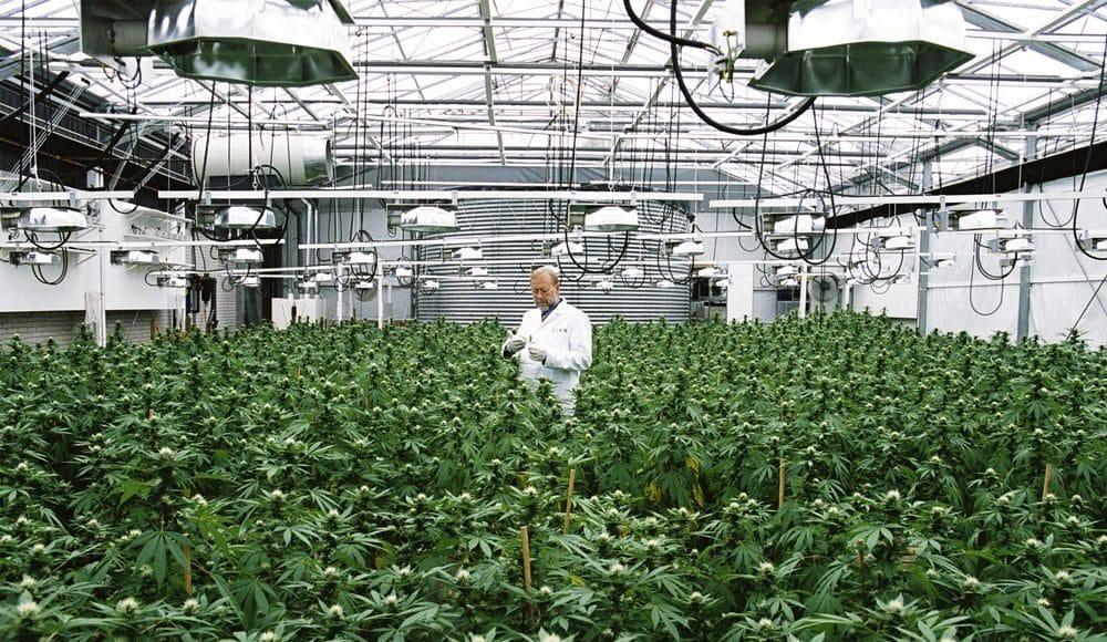 Medicinale cannabis wint terrein 3