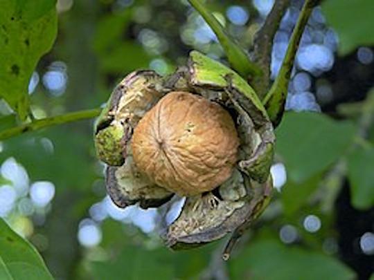 Onderzoekers: Eet 55 tot 85 gram walnoten per dag 3